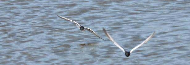 PHOTO 2: White-winged Black Terns (Chlidonias leucopterus)