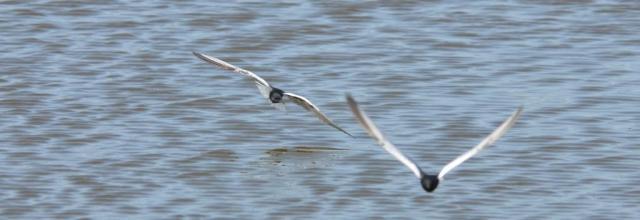 PHOTO 2: White-winged Black Terns (Chlidonias leucopterus)