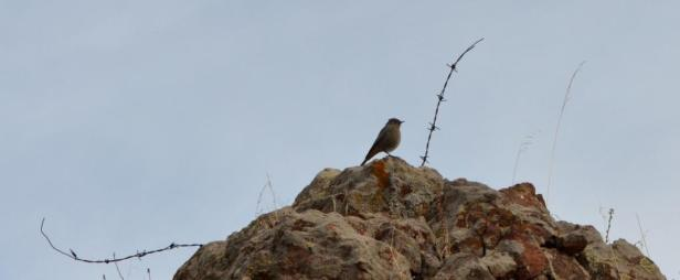Black Redstart, Lesvos