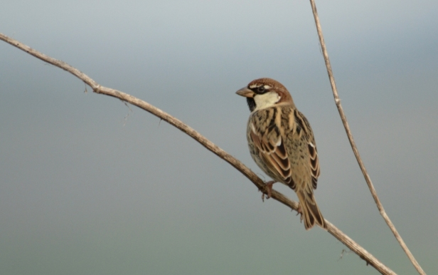 Spanish Sparrow, Lesvos