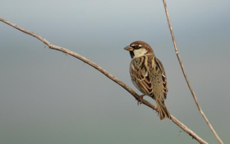 Spanish Sparrow, Lesvos