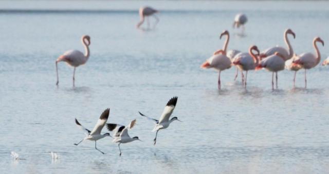 Avocets;Flamingos;Lesvos