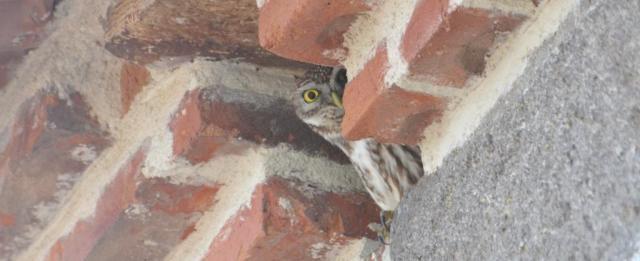 Little Owl;Lesvos;Athene noctua