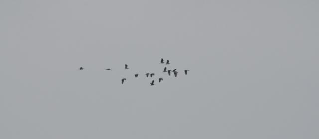 Night Herons, Lesvos