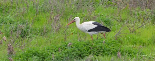 White Stork Lesvos