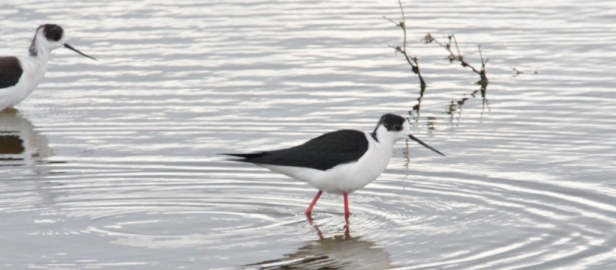 Black-winged Stilts Lesvos