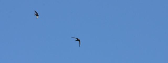 Swifts Lesvos