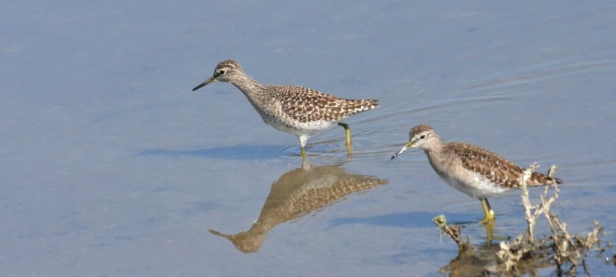Wood Sandpipers Lesvos