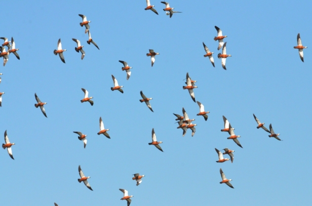 Ruddy Shelducks Lesvos
