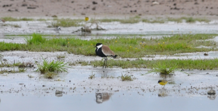 Spur-winged Plover Lesvos