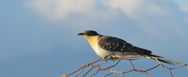 Great Spotted Cuckoo Lesvos