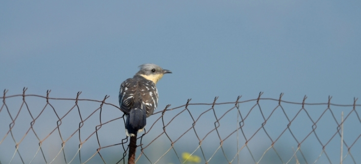 Great Spotted Cuckoo, Lesvos