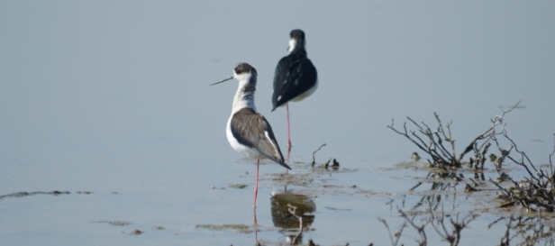 Black-winged Stilts, Lesvos