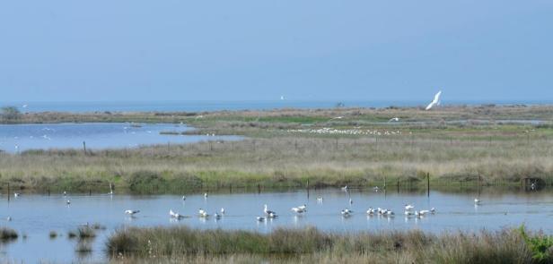 Mediterranean Gulls, Lesvos