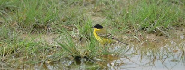 Yellow Wagtail, Lesvos