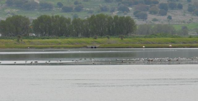 Black-winged Stilts, Avocets, Black-tailed Godwits, Kalloni salt Pans, Lesvos
