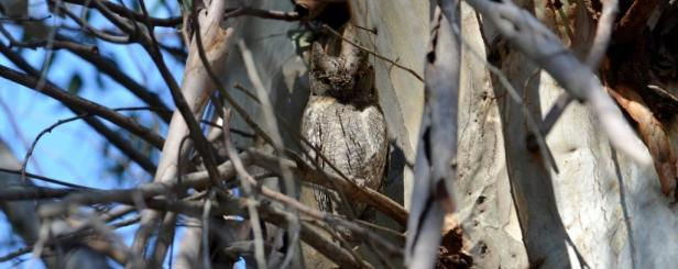 Lesvos; Scops Owl