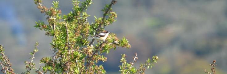 Woodchat Shrike, Lesvos