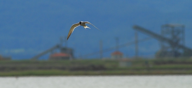 Common Tern; Lesvos