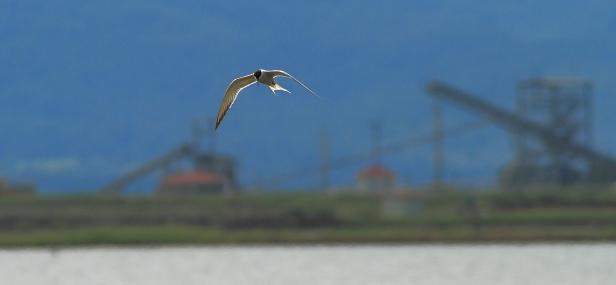 Common Tern; Lesvos