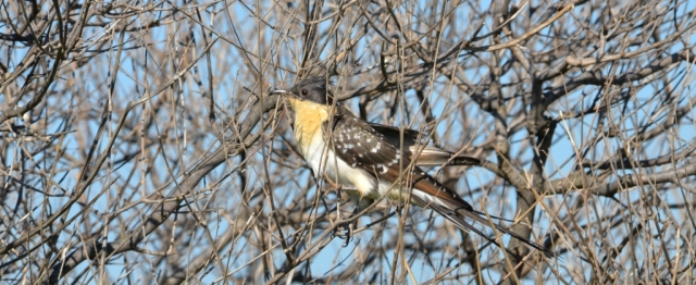 Great Spotted Cuckoo; Lesvos