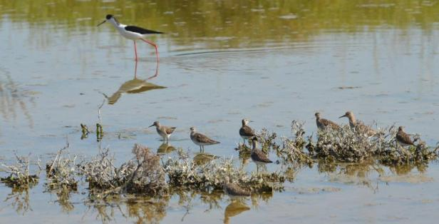 Wood Sandpipers; Lesvos