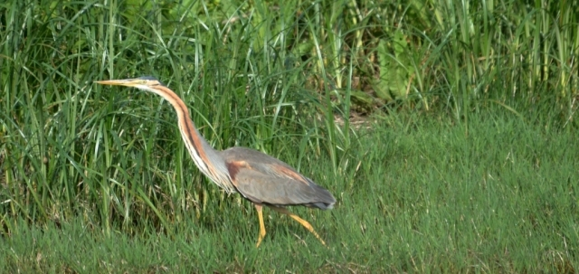 Purple Heron; Lesvos
