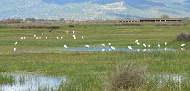 Egrets and Black Stork; Lesvos
