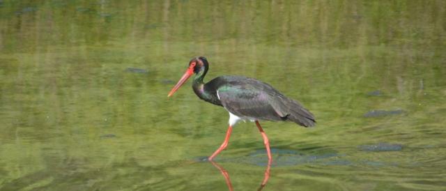 Black Stork; Lesvos