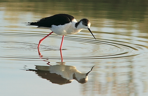 Black-winged Stilt;Lesvos