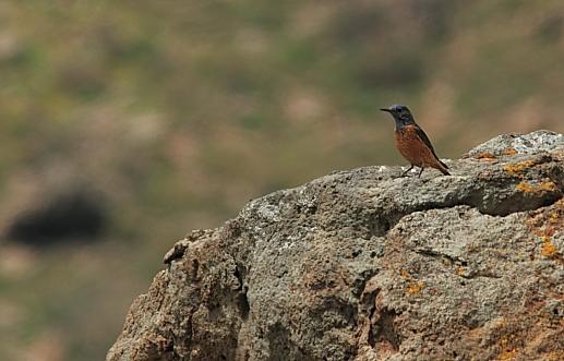 Rock Thrush; Lesvos
