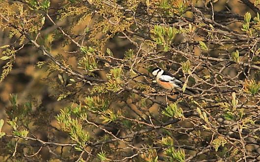Masked Shrike; Lesvos