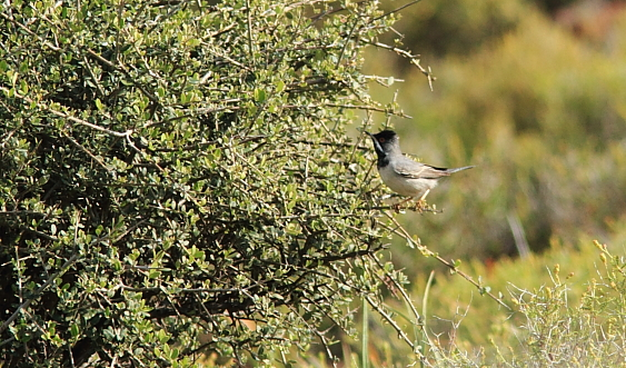 Ruppell's Warbler; Lesvos