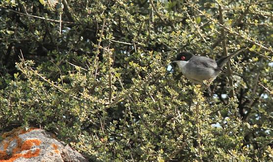 Sardinian Warbler; Lesvos