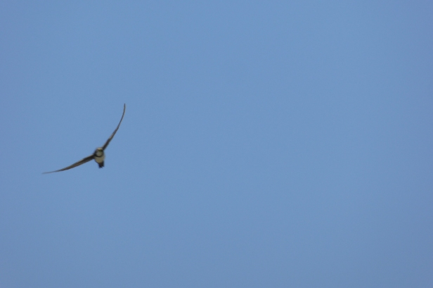 Alpine Swift; Lesvos