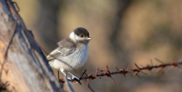 Sombre Tit fledgling; Lesvos