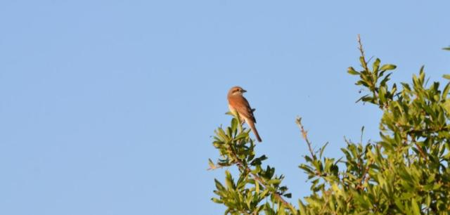 Female Red-backed Shrike; Lesvos