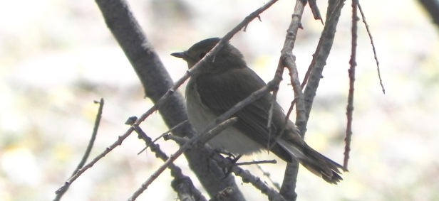 Red-breasted Flycatcher; Lesvos
