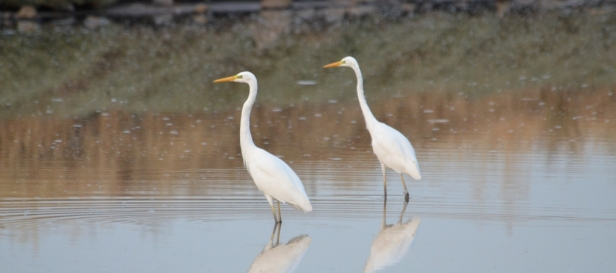 Great White Egrets; Lesvos