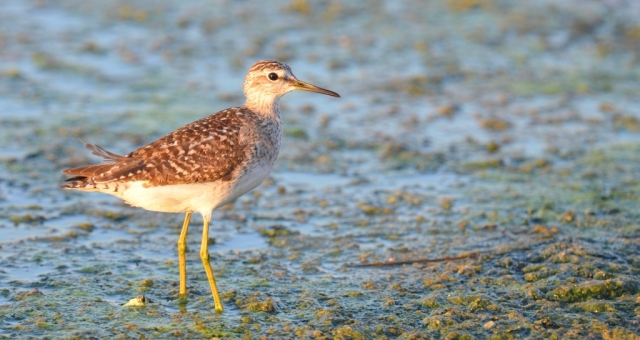 Wood Sandpiper; Lesvos; Lesvos Bird News