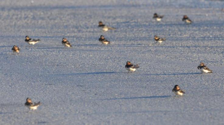 Barn Swallow, Lesvos, Lesvos Bird News