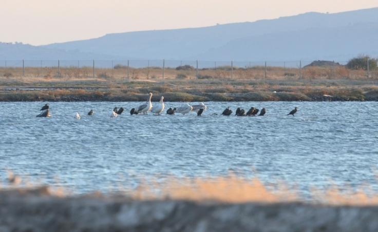 Dalmatian Pelicans, Lesvos, Lesvos Bird News