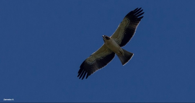 Booted Eagle; Lesvos
