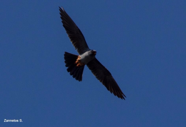 Red-footed Falcon; Lesvos