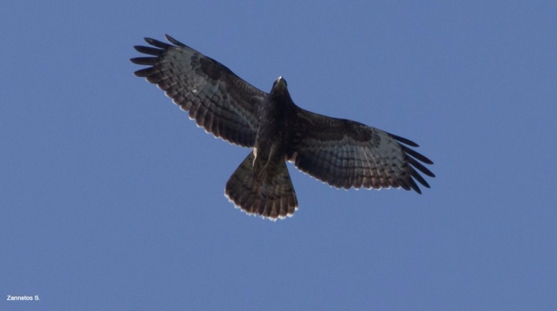 Honey Buzzard; Lesvos