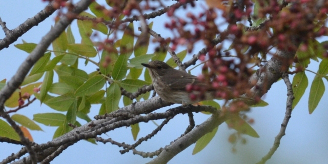 Spotted Flycatcher; Lesvos