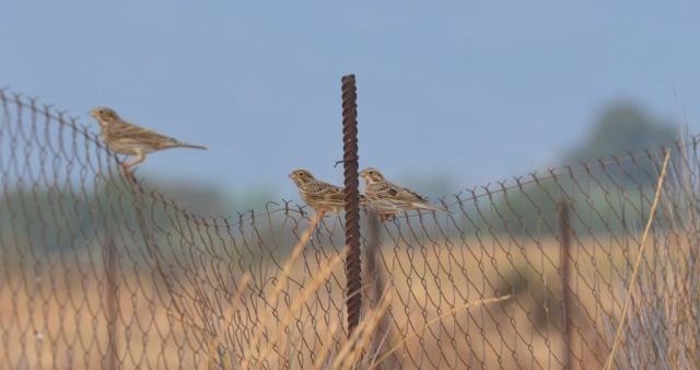 Corn Buntings; Lesvos