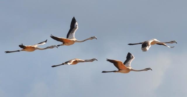 Flamingo;Lesvos