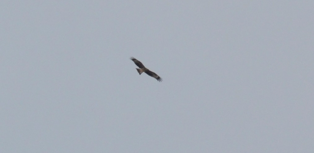Black Kite; Lesvos