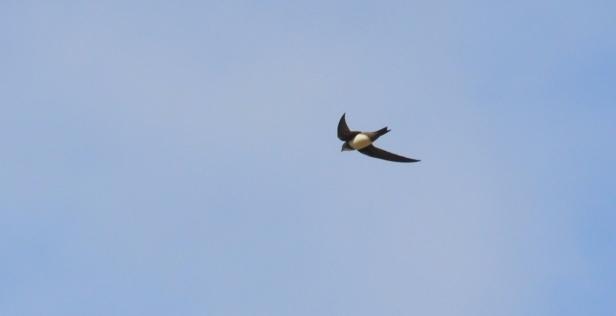 Alpine Swift;Lesvos